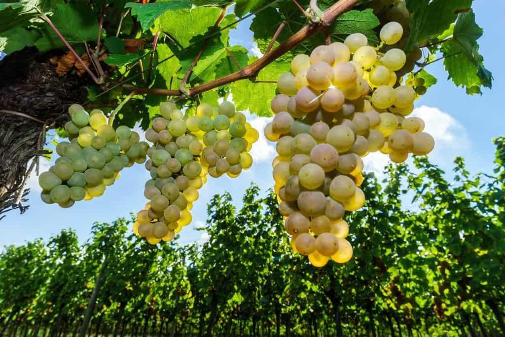 How to Find the Best Moscato Wine - Vino Del Vida