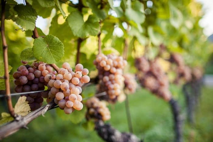 Gewurtztraminer Grapes