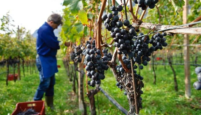 harvested wine argentinian malbec