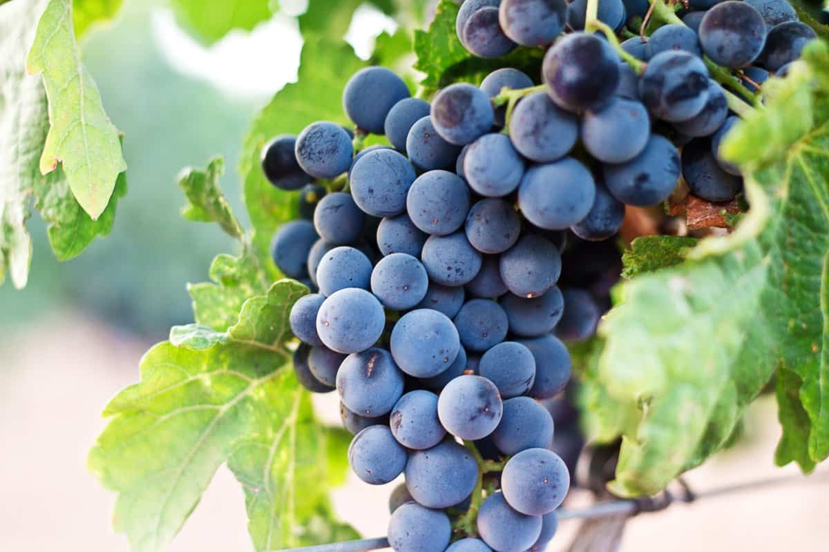 vinho verde grapes